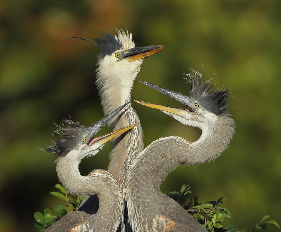 IMAGE: https://photos.smugmug.com/Other/Birds/i-NRvv45L/0/2c70b4e9/XL/407-XL.jpg