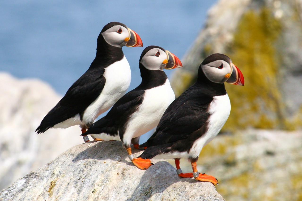 Larry, Moe, Curly Machias Seal Island, Maine, USA