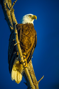 Mac Bald Eagle Moening Sun