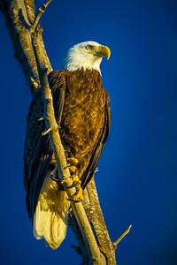 Mac Bald Eagle Moening Sun