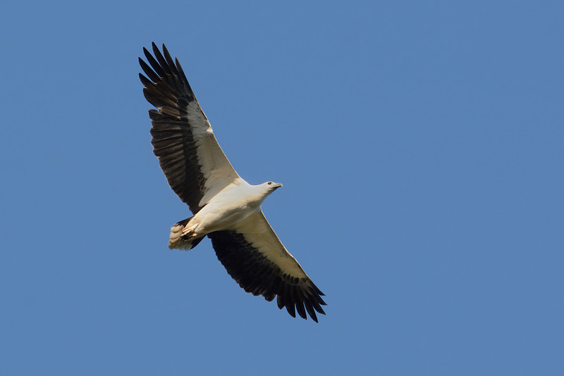 White-bellied Sea Eagle, Tallebudgera Creek, Burleigh Heads, Queensland.