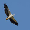 White-bellied Sea Eagle, Tallebudgera Creek, Burleigh Heads, Queensland.