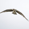 Eastern Osprey (Pandion cristatus), The Broadwater, Gold Coast, Queensland.