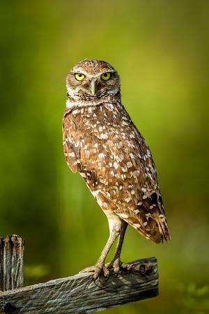 Vertical burrowing owl