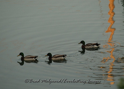 """Follow Me, Boys!""  Captured in Pleasant Prairie, Wisconsin."
