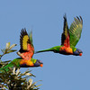 Rainbow Lorikeets, The Spit, Gold <br /> Coast, Queensland.