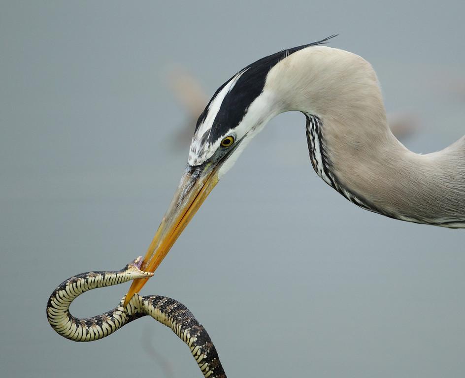 IMAGE: http://www.mikeswildlife.com/Other/Birds/i-RrLtbCm/0/XL/668-XL.jpg