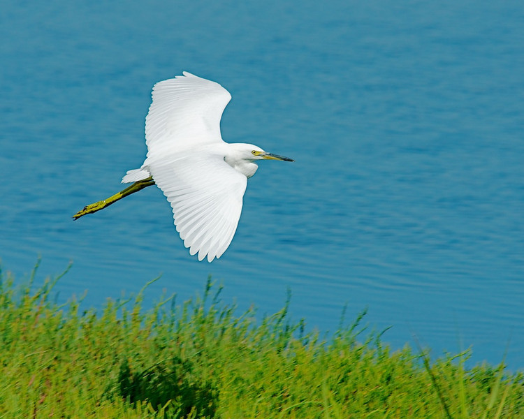 Egret comes in for a landing.  Baylands