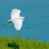 Egret comes in for a landing.  Baylands