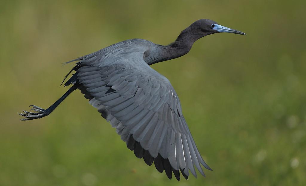 IMAGE: https://photos.smugmug.com/Other/Birds/i-ShTsbCC/0/66ac526a/XL/1401-XL.jpg