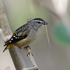 Spotted Pardalote (Pardalotus punctatus), Tallebudgera Creek, Burleigh Heads, Queensland.<br /> Female with nesting material