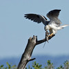 Australian Black-shouldered Kite