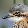 Bush Stone-curlew ( Burhinus grallarius), Federation Walk, Gold Coast, Queensland, Australia.