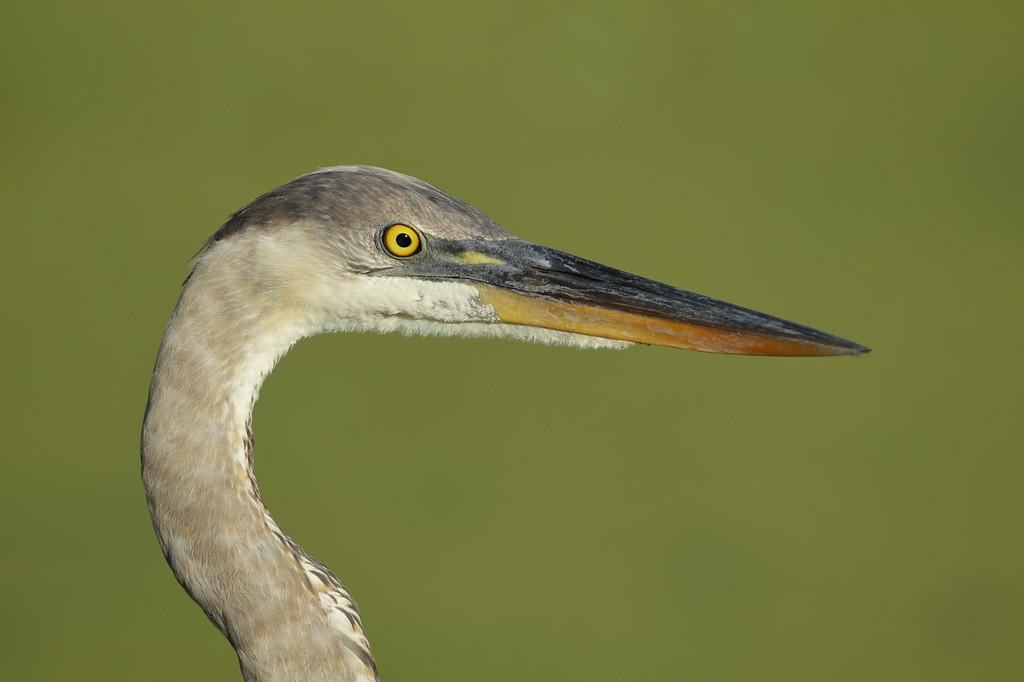 IMAGE: https://photos.smugmug.com/Other/Birds/i-VQ7Dpxk/0/6d02d6de/XL/BB8I2138-XL.jpg