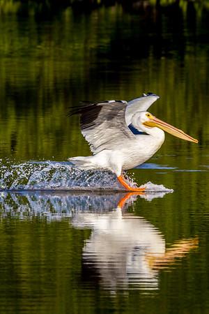 White pelican landing 2