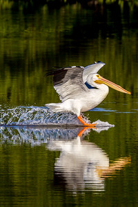 White pelican Landing Vertical 2015