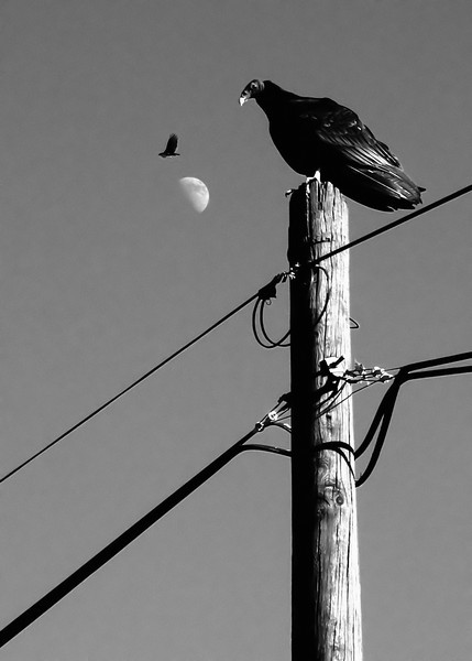 Baja Vultures