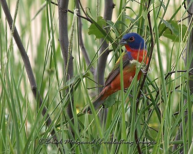"""In The Grass"" (Painted Bunting)"