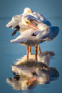 White Pelicans Preening 2015
