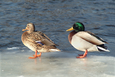 Duck and Drake on Ice