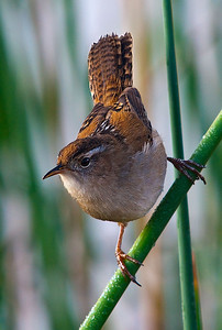 Wren Take-off