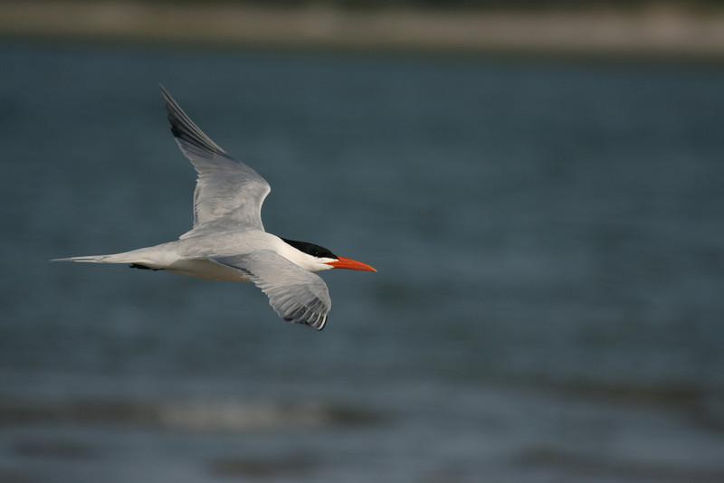 Royal Tern #15