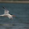 Royal Tern #15