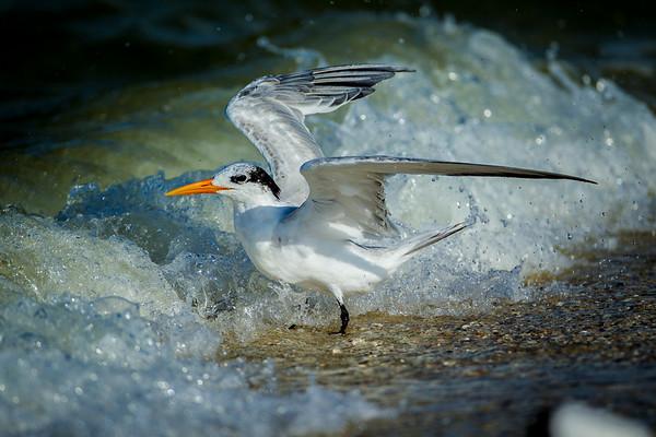 Surfing Tern