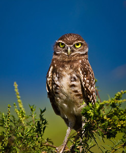 Burrowing owl1