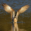 Eastern Osprey, Tallebudgera Creek, Burleigh Heads, Queensland.