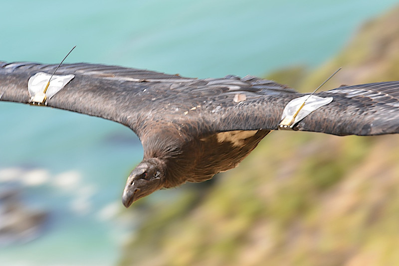 """Condor #574, aka """"Nomad"""" close up with two transmitters visible.  Nomad was hatched in 2010 and travels between Big Sur and Pinnacles."""