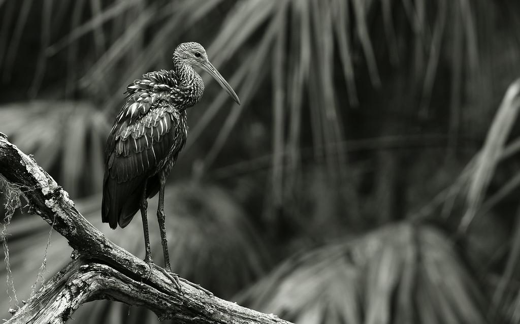 IMAGE: http://www.mikeswildlife.com/Other/Birds/i-chxqJxd/0/XL/2155-2-XL.jpg