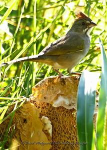 Green-tailed Towhee (profile)