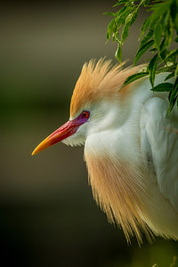 Cattle Egret Mating Colors Portrait