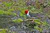 Yellow-billed Cardinal