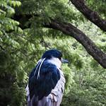 Black-Crowned Night Heron #1