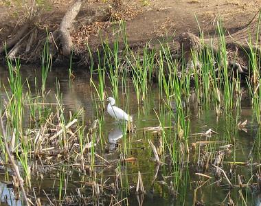 Snowy Egret (Egretta thula), Rancho Jurupa Park, Rubidoux. 07 Feb 2007