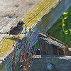 Scruffy bird<br /> This little bird looks as weatherd as the wood walkway in the San Francisco Bay marshlands.