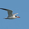 Caspian Tern (Hydroprogne caspia), The Broadwater, Gold Coast, Queensland.