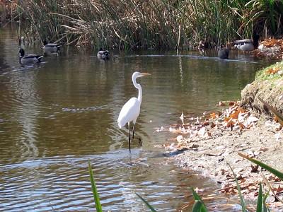 Great Egret (Casmerodius albus), Rubidoux. 06 Feb 2007