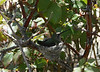 Costa's hummingbird (Calypte costae) in nest, Lakeview Mountains, 15 Mar 2008