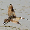 Take off<br /> Long-billed Curlew, Aptos, CA