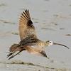 Take off<br /> Long-billed Curlew, Aptos, CA