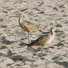 Pair<br /> Long-billed Curlew, Aptos, CA