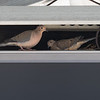 """Mourning Doves on tv. <br><span class=""""skyfilename"""" style=""""font-size:14px"""">2019-03-24_skydive_cpi_0062</span>"""