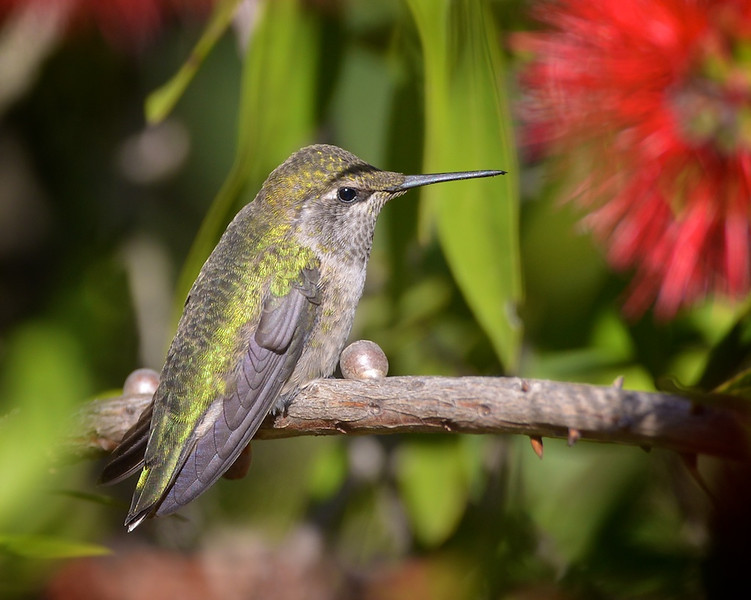 Anne's hummingbird at rest.