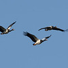 Magpie Geese (Anseranas semipalmata), Tallebudgera Creek, Burleigh Heads, Queensland. Gaggle of geese in flight.