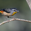 Male Spotted Pardalote (Pardalotus punctatus), Tallebudgera Creek, Burleigh Heads, Queensland.