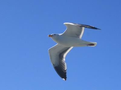 Seagull, San Francisco Bay. 30 Jun 2008.