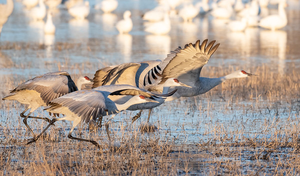 Sandhill Crane Race Day